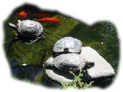 Fish and Turtles  enjoying the peacefulness  of the  inner courtyard